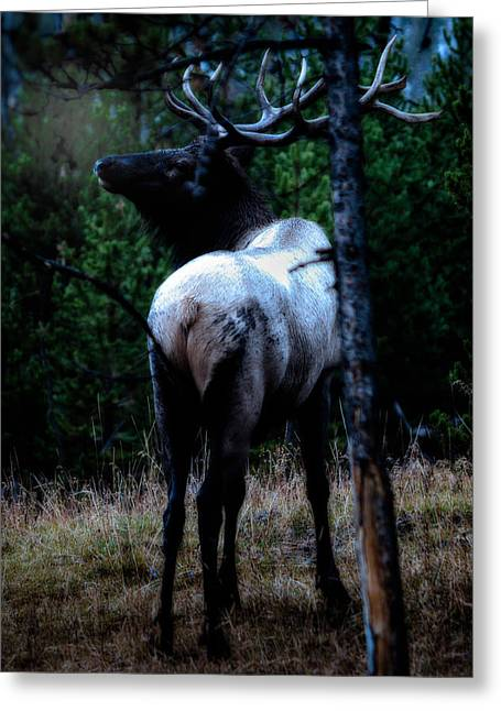 Bull Elk In Moonlight  Greeting Card