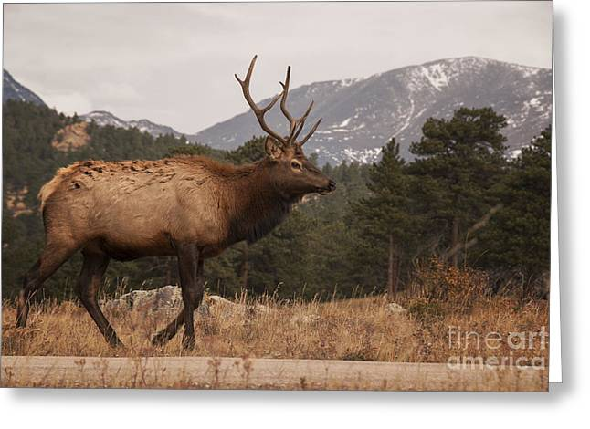 Bull Elk Greeting Card by Juli Scalzi