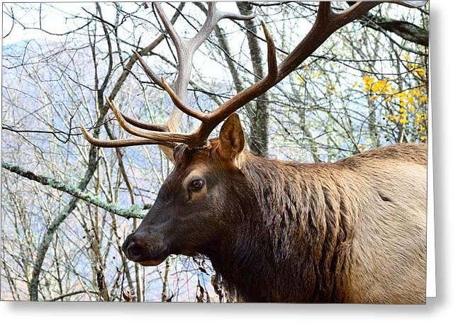 Bull Elk Greeting Card