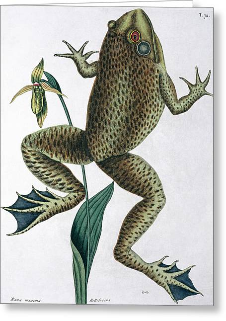 Bull Frog Greeting Card by Natural History Museum, London