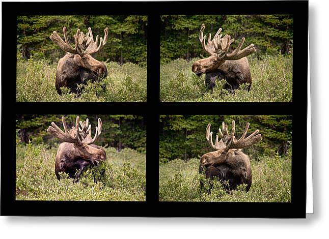 Bull Moose Collage Greeting Card by James BO  Insogna