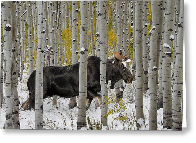 Bull Moose In Autumn Greeting Card