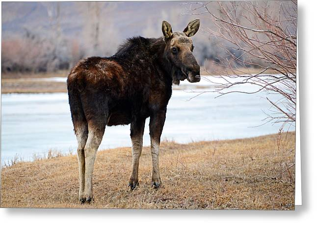 Bull Moose In Late Winter #2 Greeting Card by Eric Nielsen