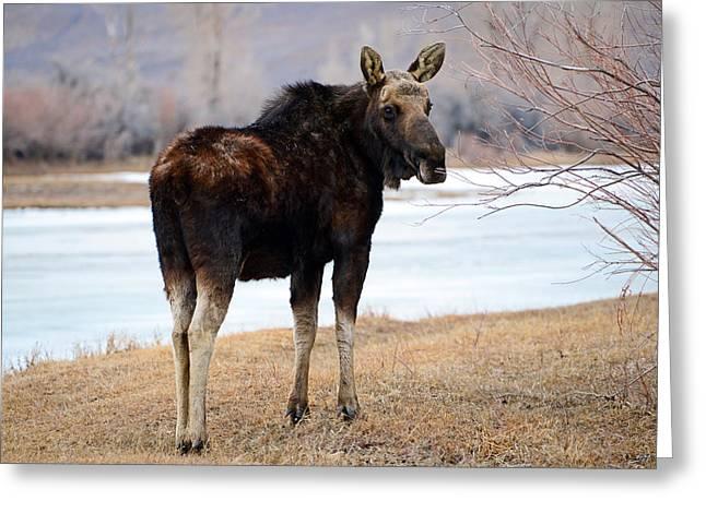 Bull Moose In Late Winter #2 Greeting Card