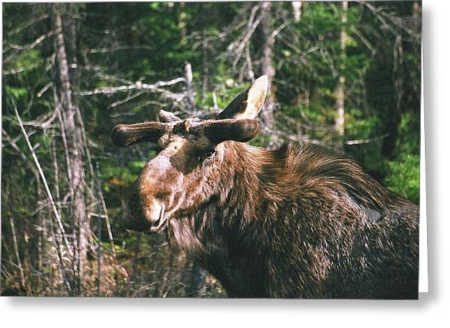 Greeting Card featuring the photograph Bull Moose In Spring by David Porteus
