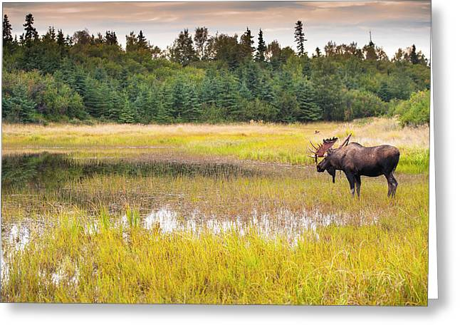 Bull Moose In Velvet Wades In Marshy Greeting Card