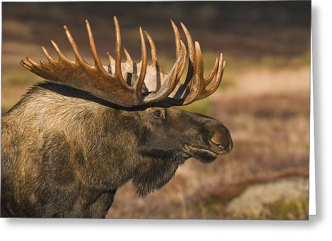 Bull Moose Profile At Sunrise Greeting Card