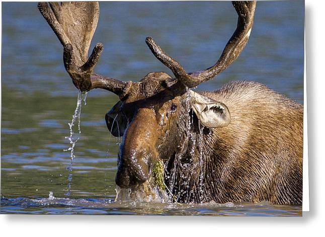 Bull Moose Sampling The Vegetation Greeting Card by Jack Bell