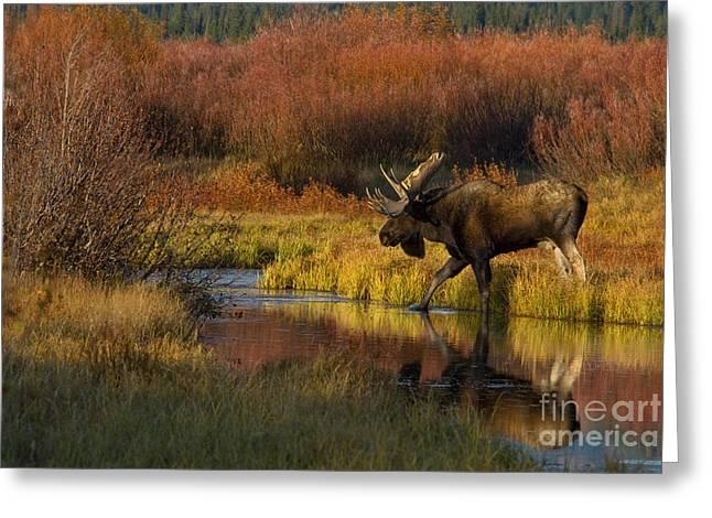 Bull Moose Greeting Card by Thomas and Pat Leeson