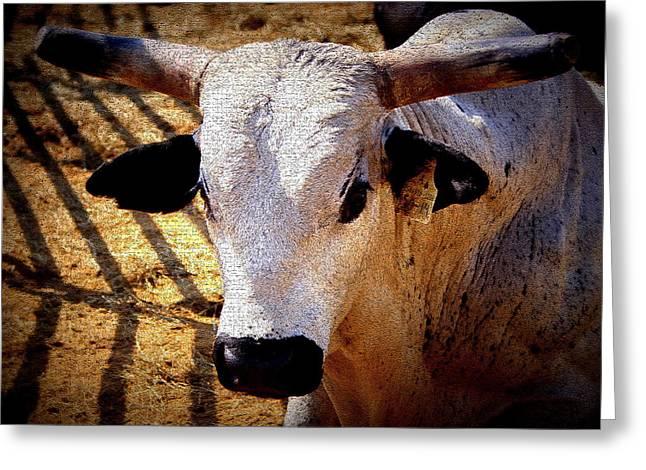 Bull Riders - Nightmare - Rodeo Bull Greeting Card