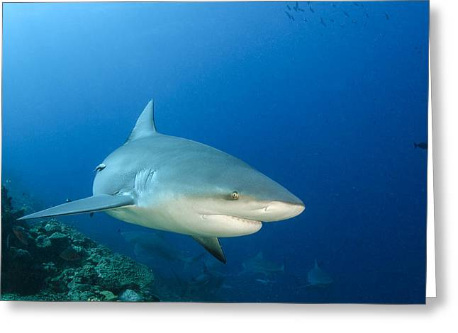 Bull Shark Beqa Lagoon Viti Levu Fiji Greeting Card by Pete Oxford