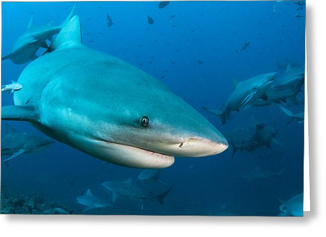Bull Sharks In Beqa Lagoon Viti Levu Greeting Card by Pete Oxford