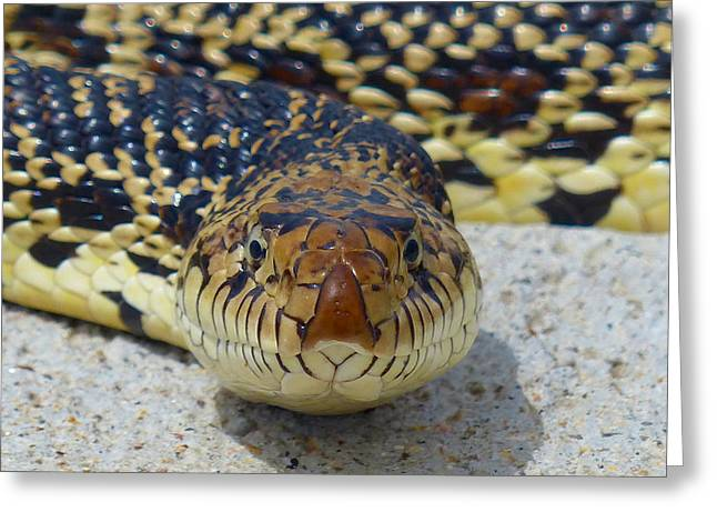 Bull Snake Stare Greeting Card