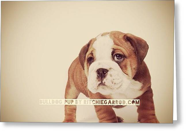 Bulldog Pup Greeting Card by Ritchie Garrod