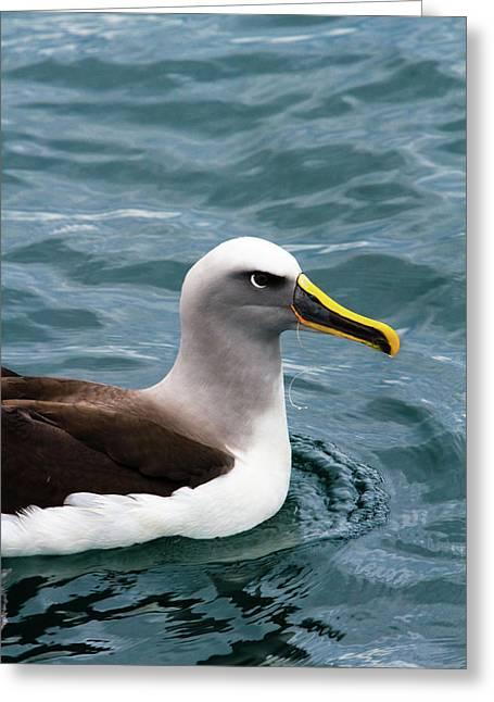 Buller's Albatross (thalassarche Bulleri Greeting Card