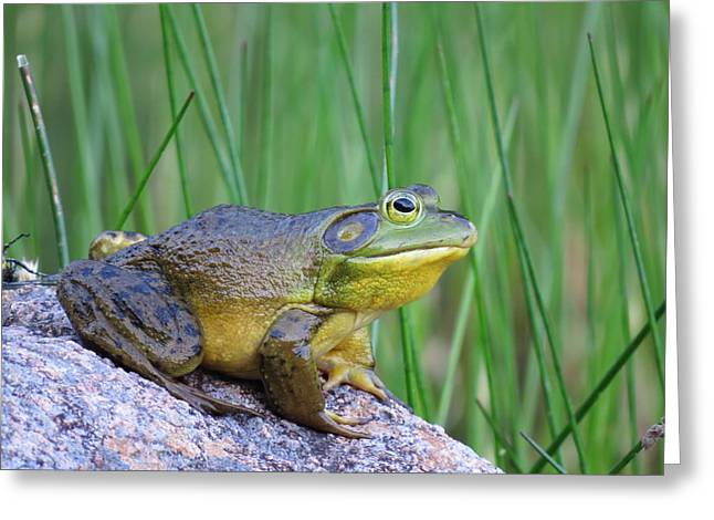 Bullfrog On Bubble Pond Greeting Card by Acadia Photography