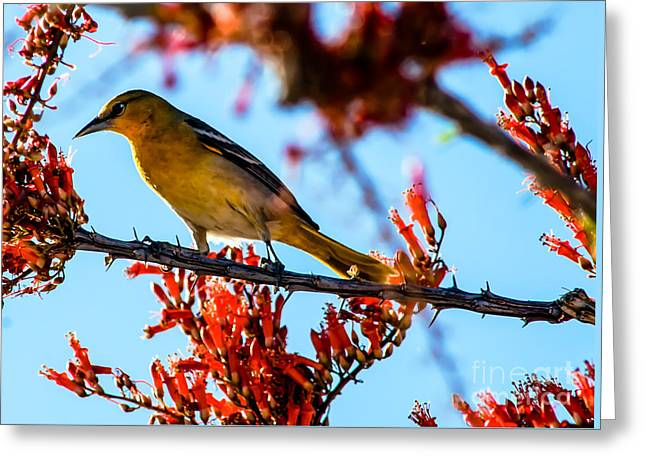 Bullock Oriole Greeting Card by Robert Bales