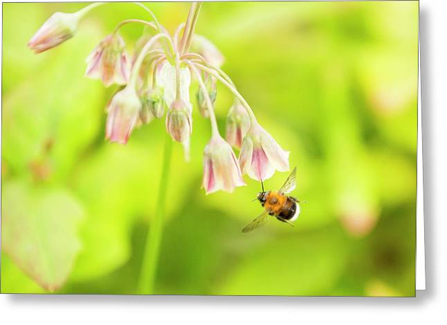 Bumble Bee Gathering Pollen Greeting Card by Ashley Cooper