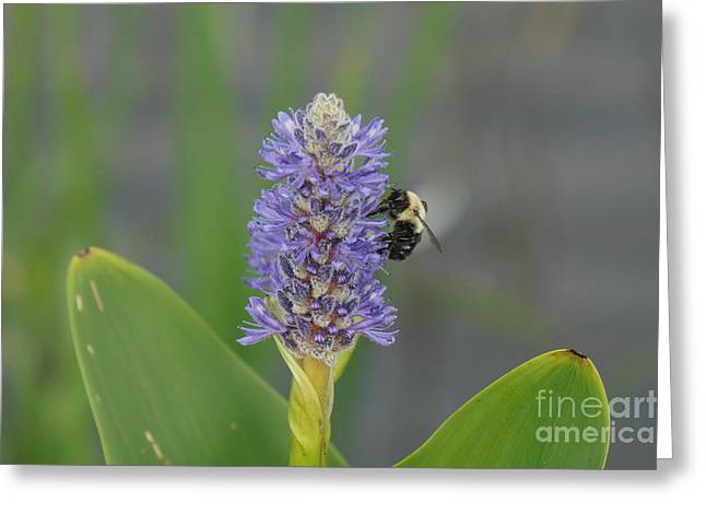 Bumble Bee On A Blue Pickerel Plant Greeting Card by Zori Minkova