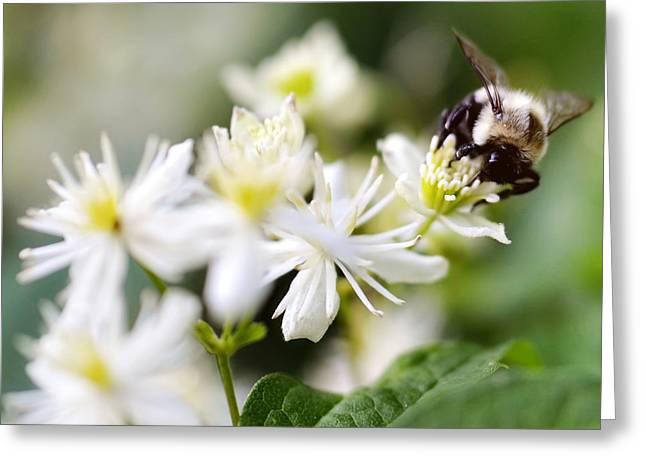 Bumble Bee On Clematis Greeting Card by Ginger Wagner