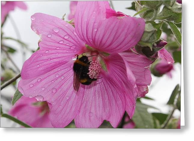 Bumble Bee On Lavatera Greeting Card by David Grant