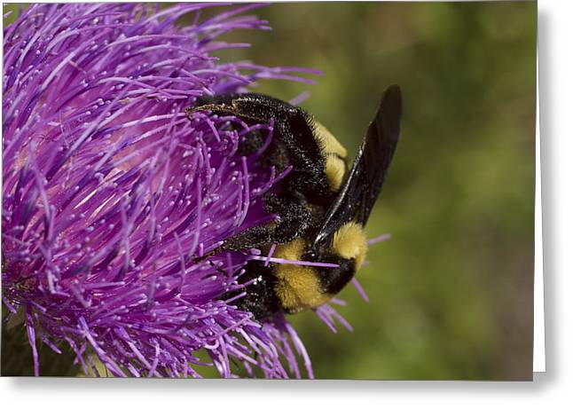 Bumble Bee On Thistle Greeting Card by Shelly Gunderson