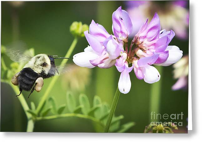 Bumble Bee With Pollen Basket Greeting Card by Ricky L Jones