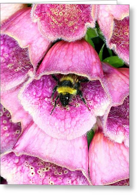 Bumblebee And Foxglove Hybrid Greeting Card by Dr Jeremy Burgess/science Photo Library