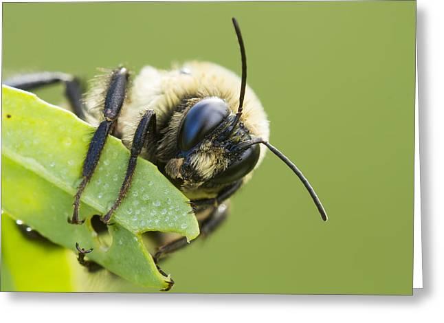 Bumblebee Greeting Card by Mircea Costina Photography