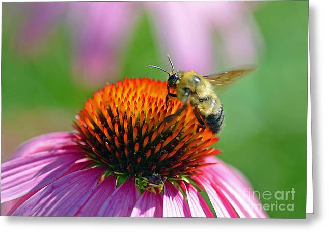 Bumblebee On A Coneflower Greeting Card