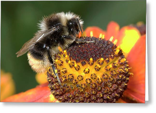 Bumblebee On A Flower Greeting Card by Nigel Downer