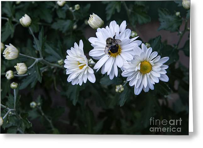 Bumblebee On Daisy Greeting Card