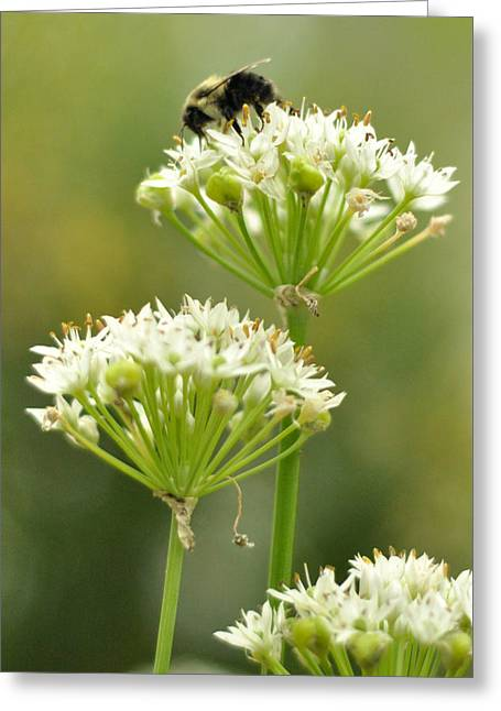 Bumblebee On Garlic Chives Greeting Card by Rebecca Sherman