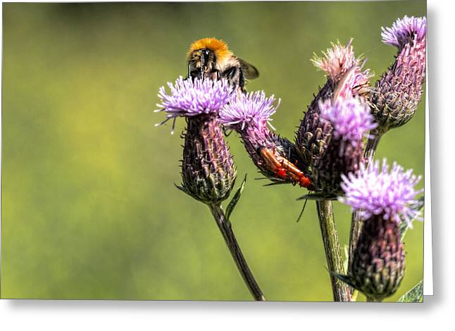 Greeting Card featuring the photograph Bumblebee On Thistl by Leif Sohlman
