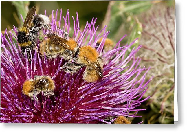 Bumblebees Feeding On Thistle Flower Greeting Card by Bob Gibbons