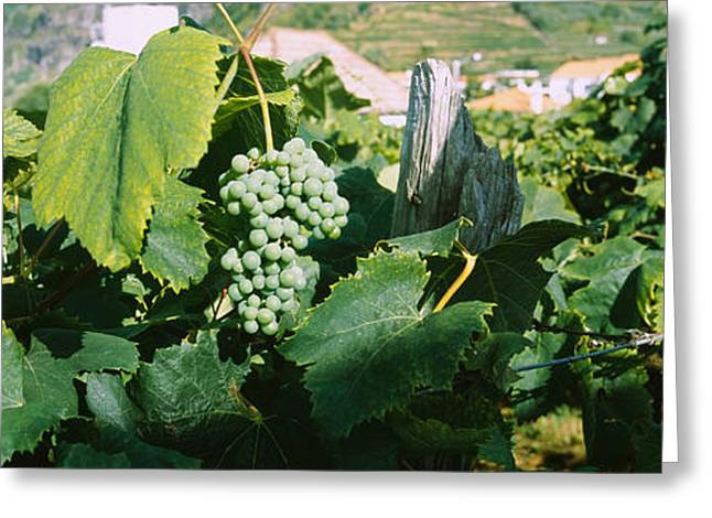Bunch Of Grapes In A Vineyard, Sao Greeting Card by Panoramic Images