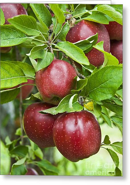 Bunch Of Red Apples Greeting Card by Anthony Sacco