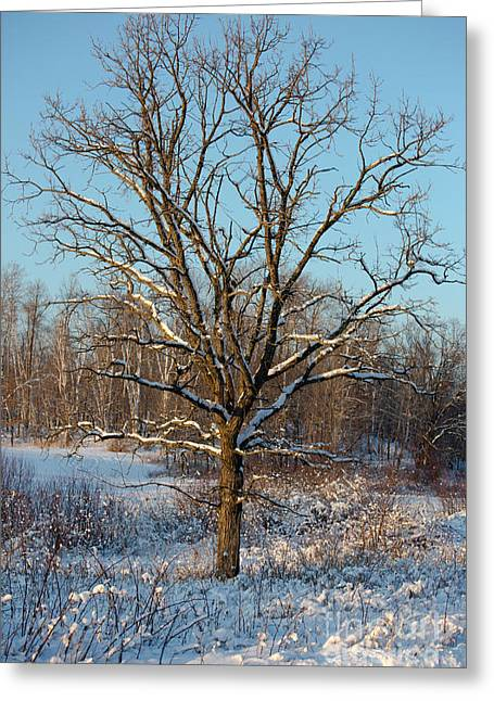 Bur Oak In Winter Greeting Card by Linda Freshwaters Arndt
