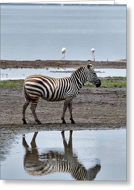 Burchell's Zebra And Reflection, Lake Greeting Card