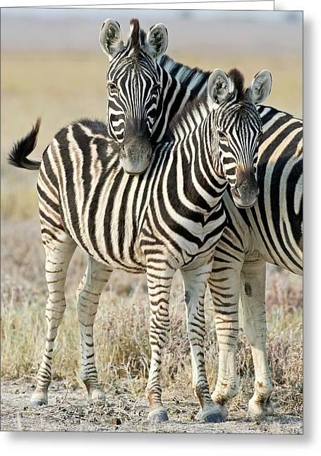 Burchell's Zebra Greeting Card by Tony Camacho