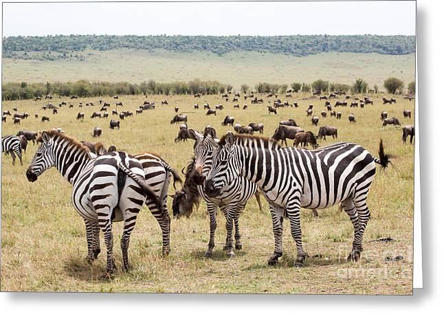 Burchells Zebras And Gnu Greeting Card by Greg Dimijian
