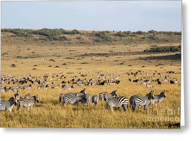Burchells Zebras And Wildebeest Greeting Card by Greg Dimijian