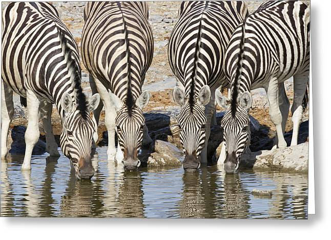 Burchells Zebras Drinking Etosha Np Greeting Card by Richard Garvey-Williams