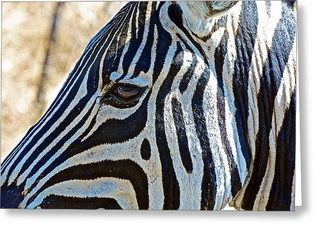 Burchell's Zebra's Face In Kruger National Park-south Africa Greeting Card
