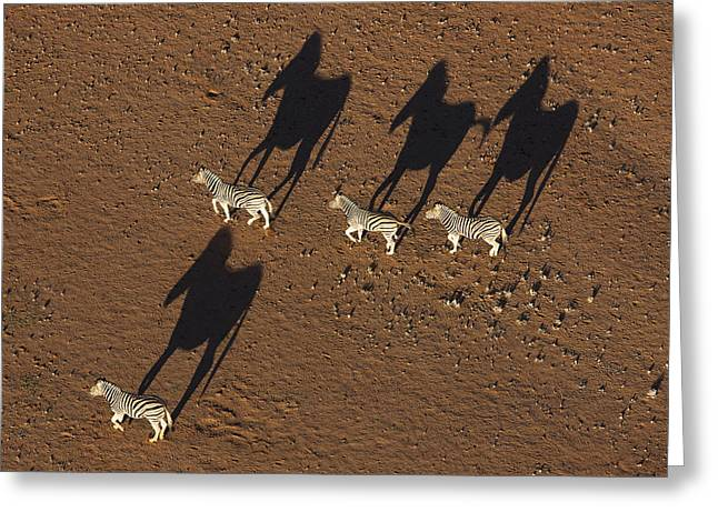 Burchells Zebras Running In Desert Greeting Card by Theo Allofs