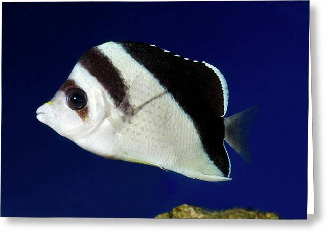 Burgess' Butterflyfish Greeting Card
