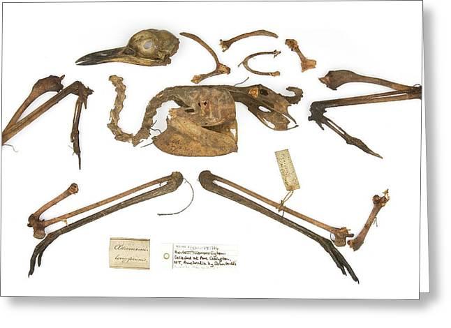 Burhinus Grallarius Skeleton Greeting Card by Natural History Museum, London