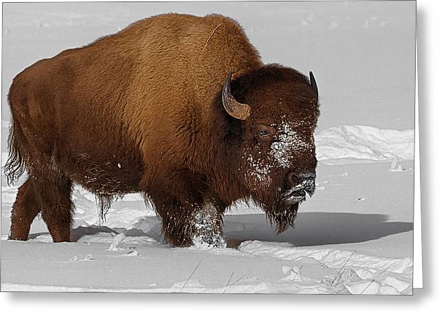 Burly Bison Greeting Card by Priscilla Burgers