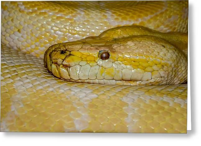Burmese Python Greeting Card by Ernie Echols