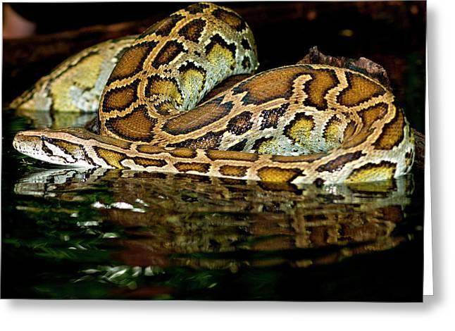 Burmese Python, Python Molurus Greeting Card by David Northcott